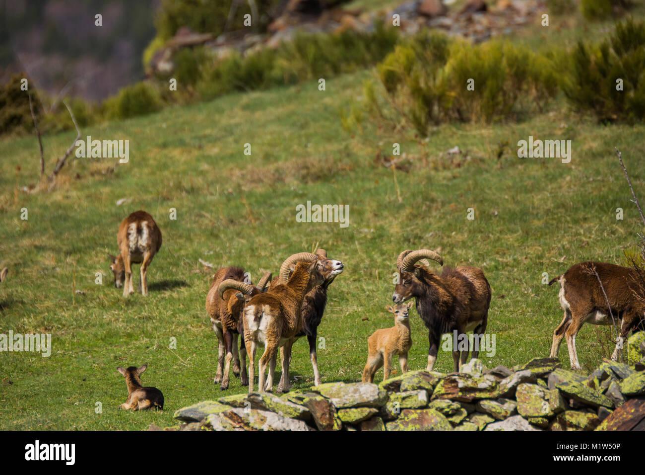 Muflones (Ovis aries musimon) en Capcir, Francia Foto de stock