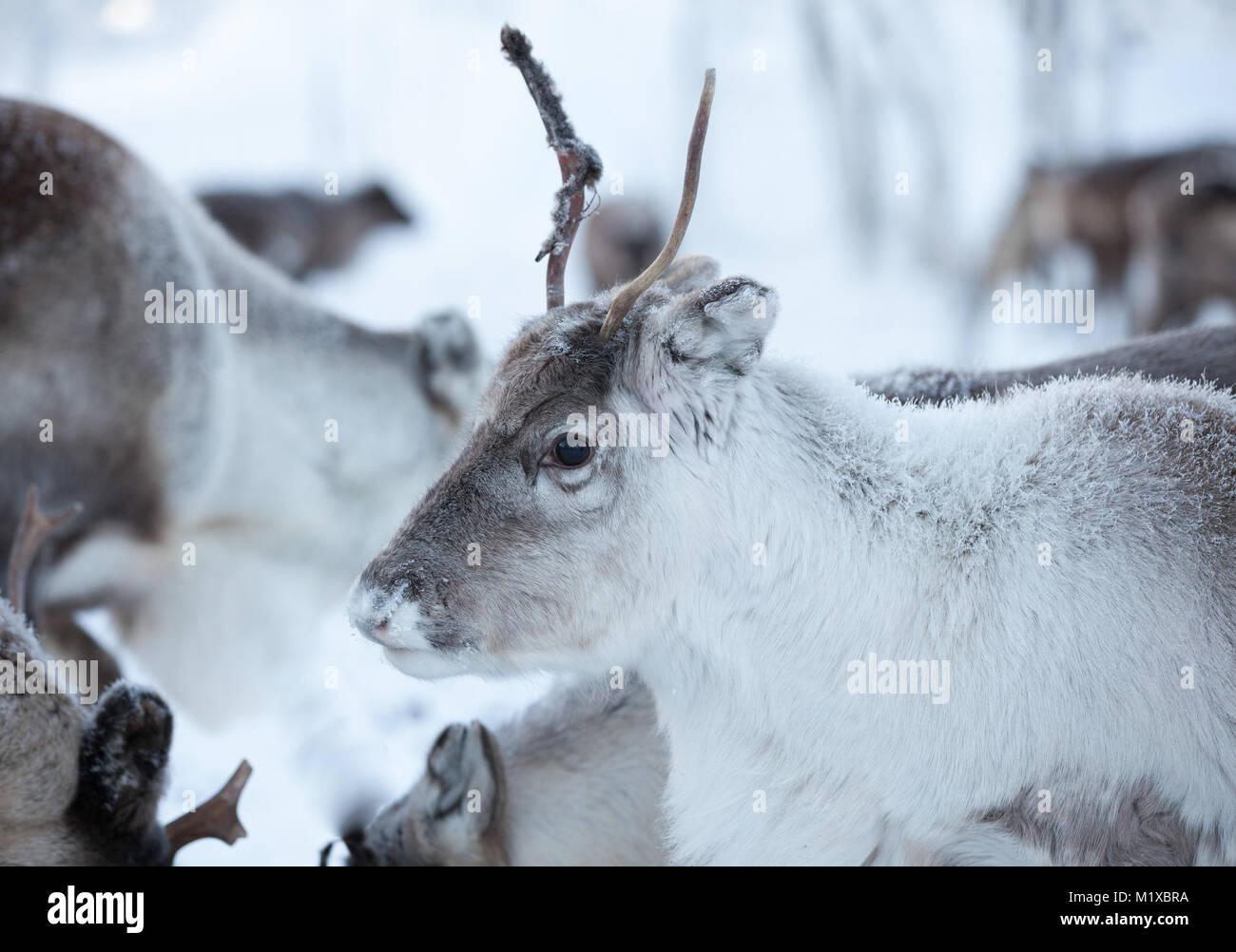 Los renos joven junto con la familia Imagen De Stock