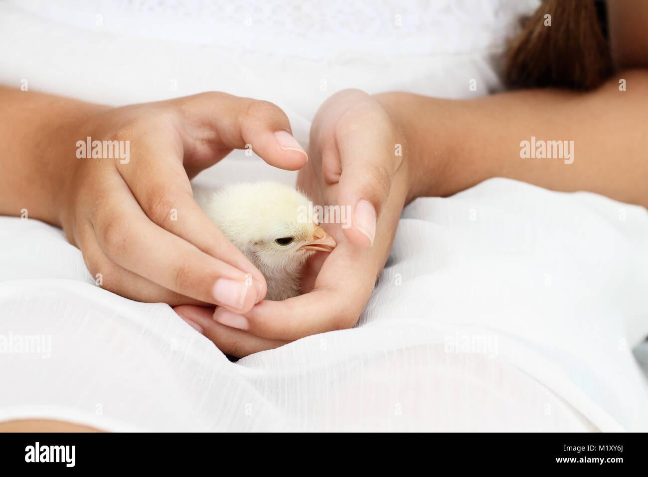 Niña sostiene un polluelo Brahma blanco que está a sólo días de antigüedad. Foto de stock