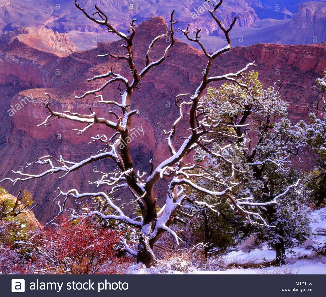 Pinyon cubiertas de nieve a lo largo del borde del sur, el Parque Nacional del Gran Cañón, Arizona Foto de stock