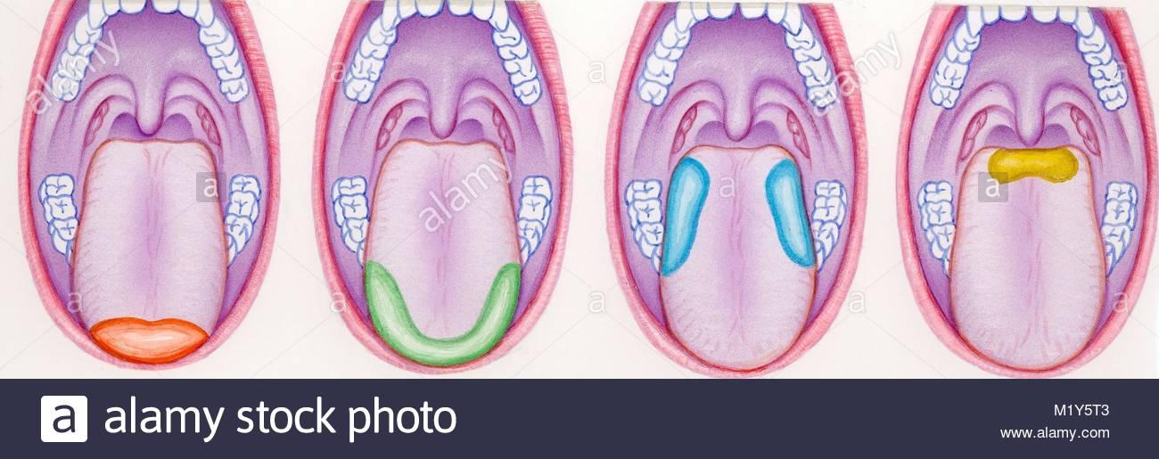 Papilas gustativas Foto & Imagen De Stock: 173315635 - Alamy