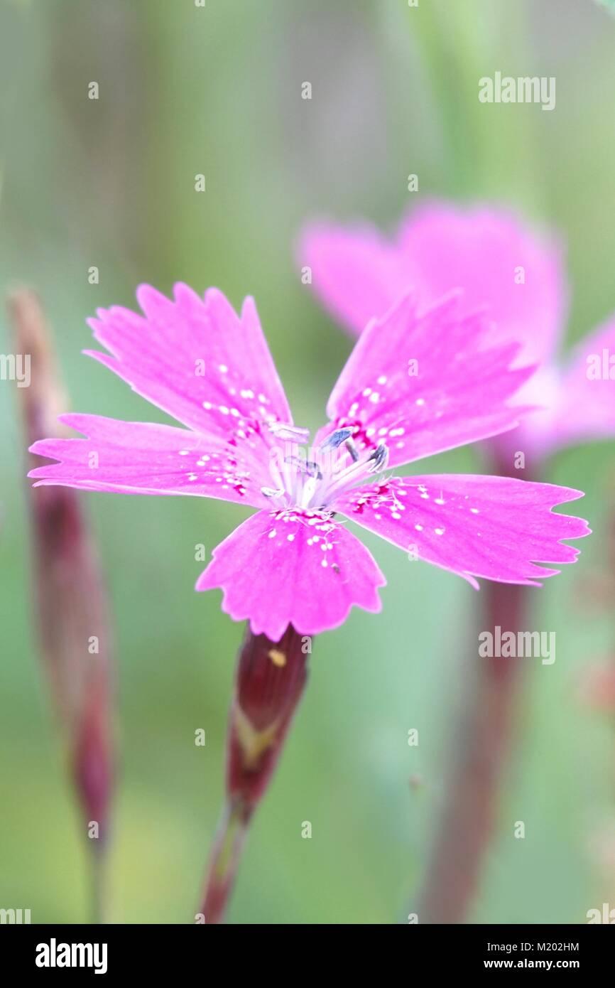 Maiden Pink Dianthus Deltoides Imágenes De Stock & Maiden Pink ...