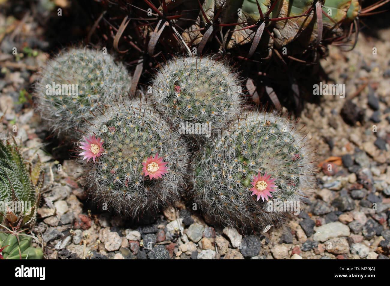Grupo de Mamillaria sp. con flores de cactus Foto de stock