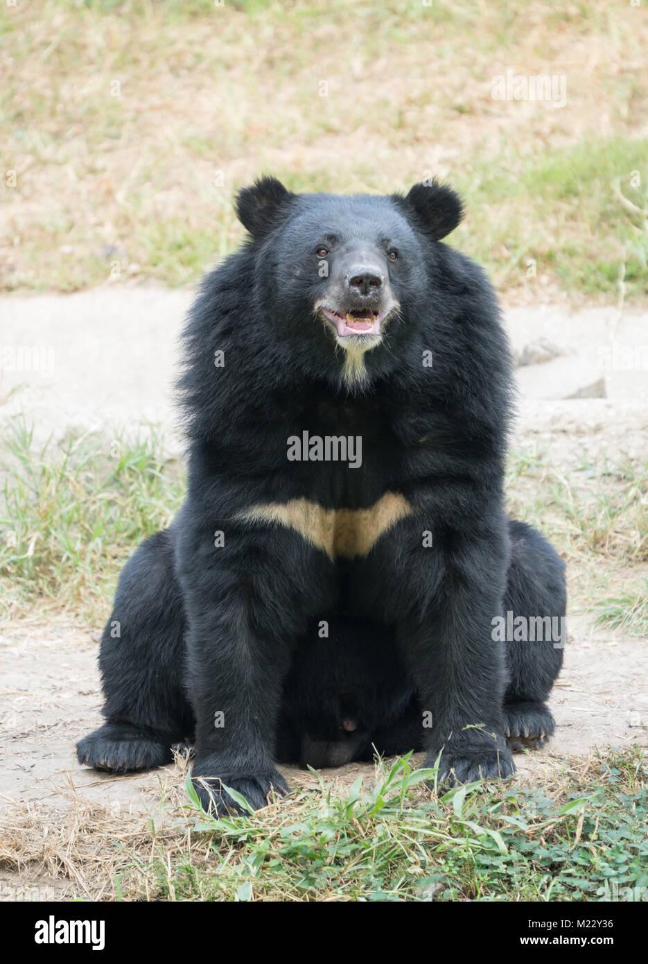 Oso Negro Asiático en zoo Foto de stock