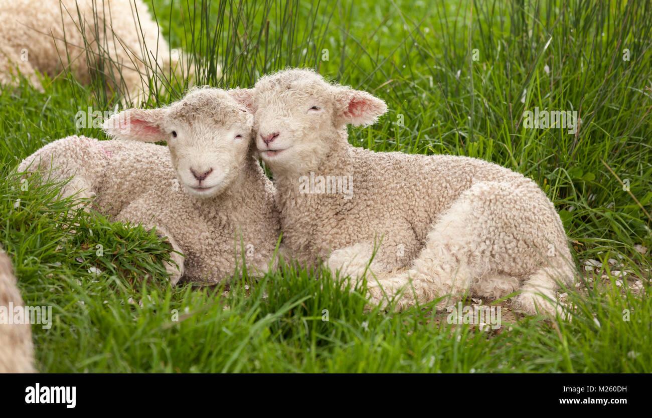 Cute adorable bebé difusa animales hermanos corderos snuggling juntos en la hierba verde. Pueden parecer como Imagen De Stock