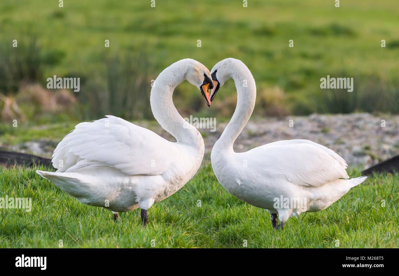 Par de Silencio Blanco cisnes (Cygnus olor) en pie uno frente al otro en un campo con el cuello haciendo la forma Imagen De Stock
