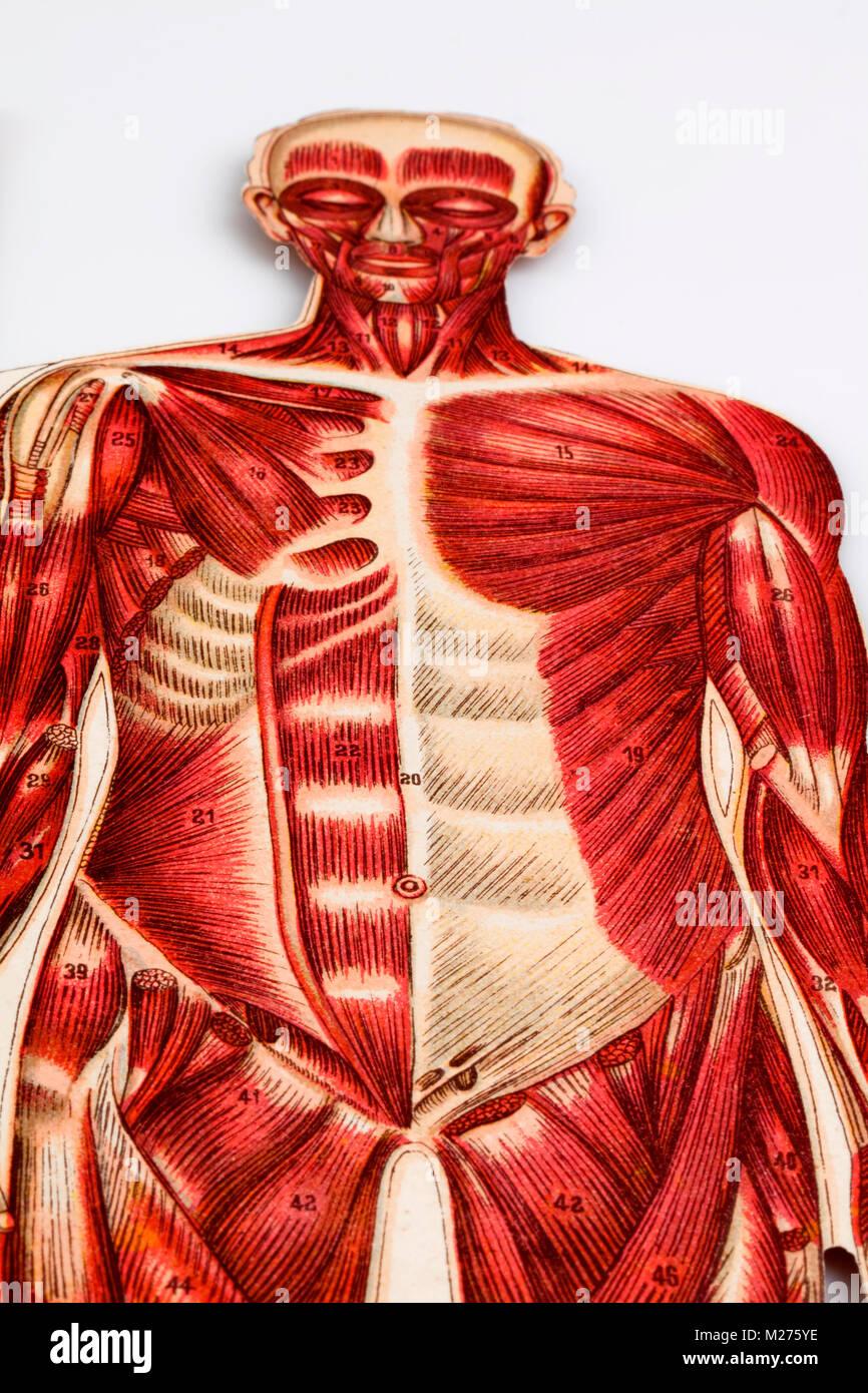 Ilustración médica de seres humanos Foto de stock