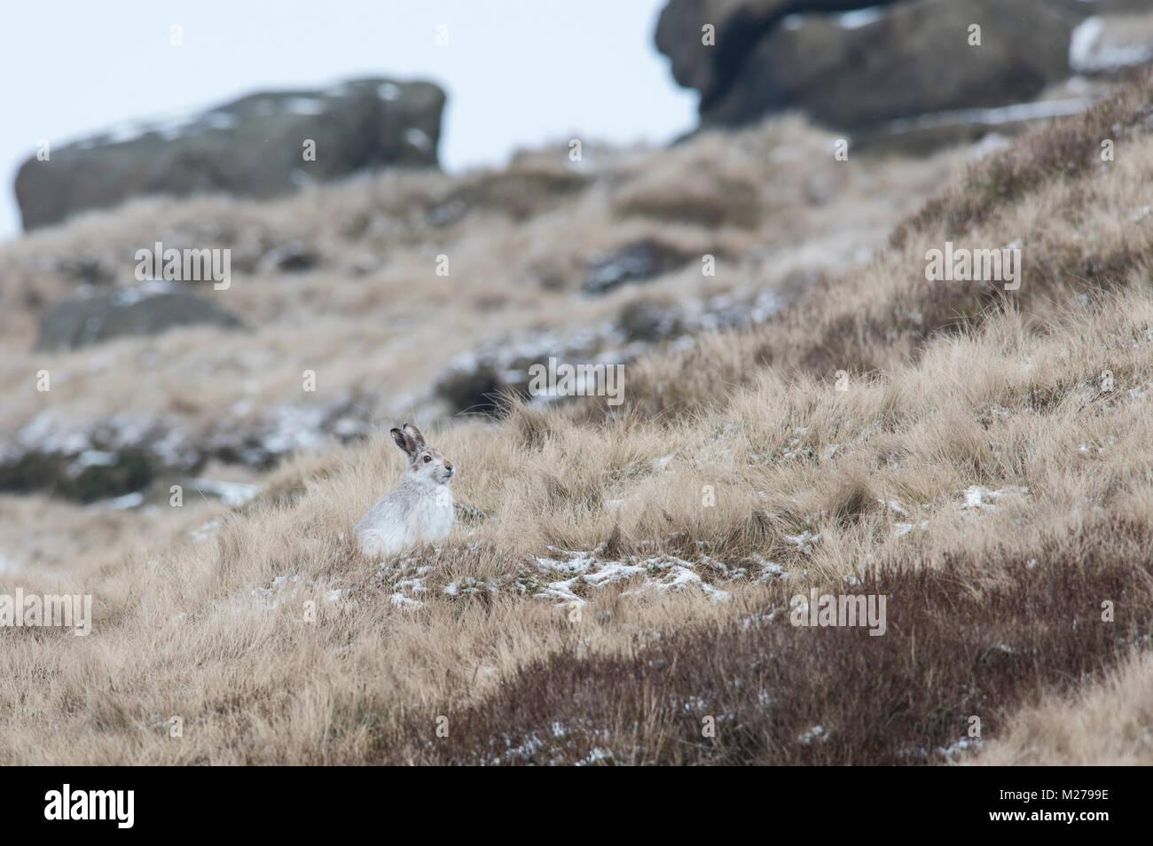 Mountain Liebre Lepus timidus en su abrigo blanco en invierno, con una nevada antecedentes sobre los páramos de la Derbyshire Peak District. Foto de stock
