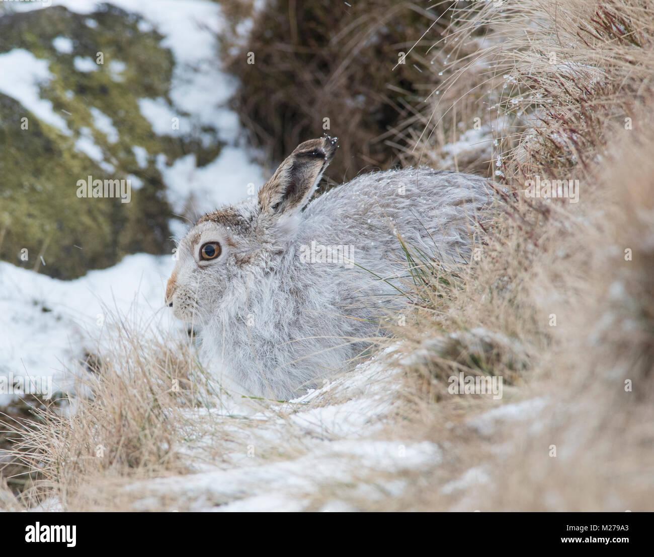 Mountain Liebre Lepus timidus en su abrigo blanco en invierno, con una nevada antecedentes sobre los páramos Imagen De Stock
