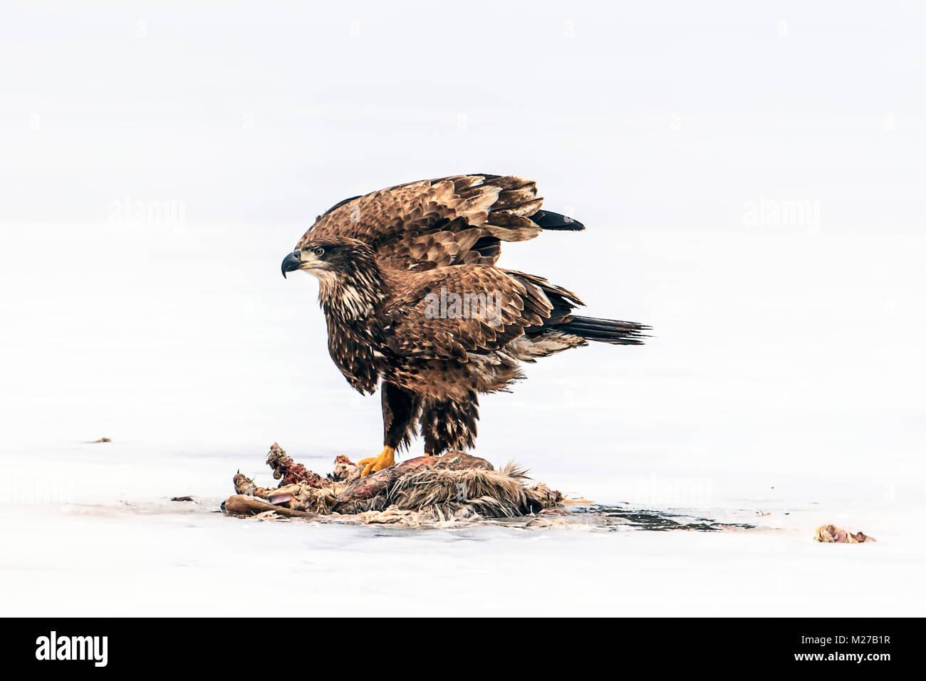Alas de águila calva inmaduros aleteos por animal muerto en el lago congelado Hauser en Idaho. Imagen De Stock