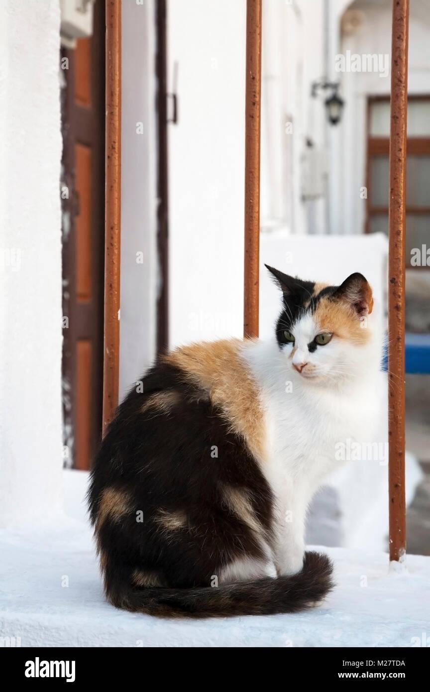 Aegean cat en patio vallado, Santorini Imagen De Stock