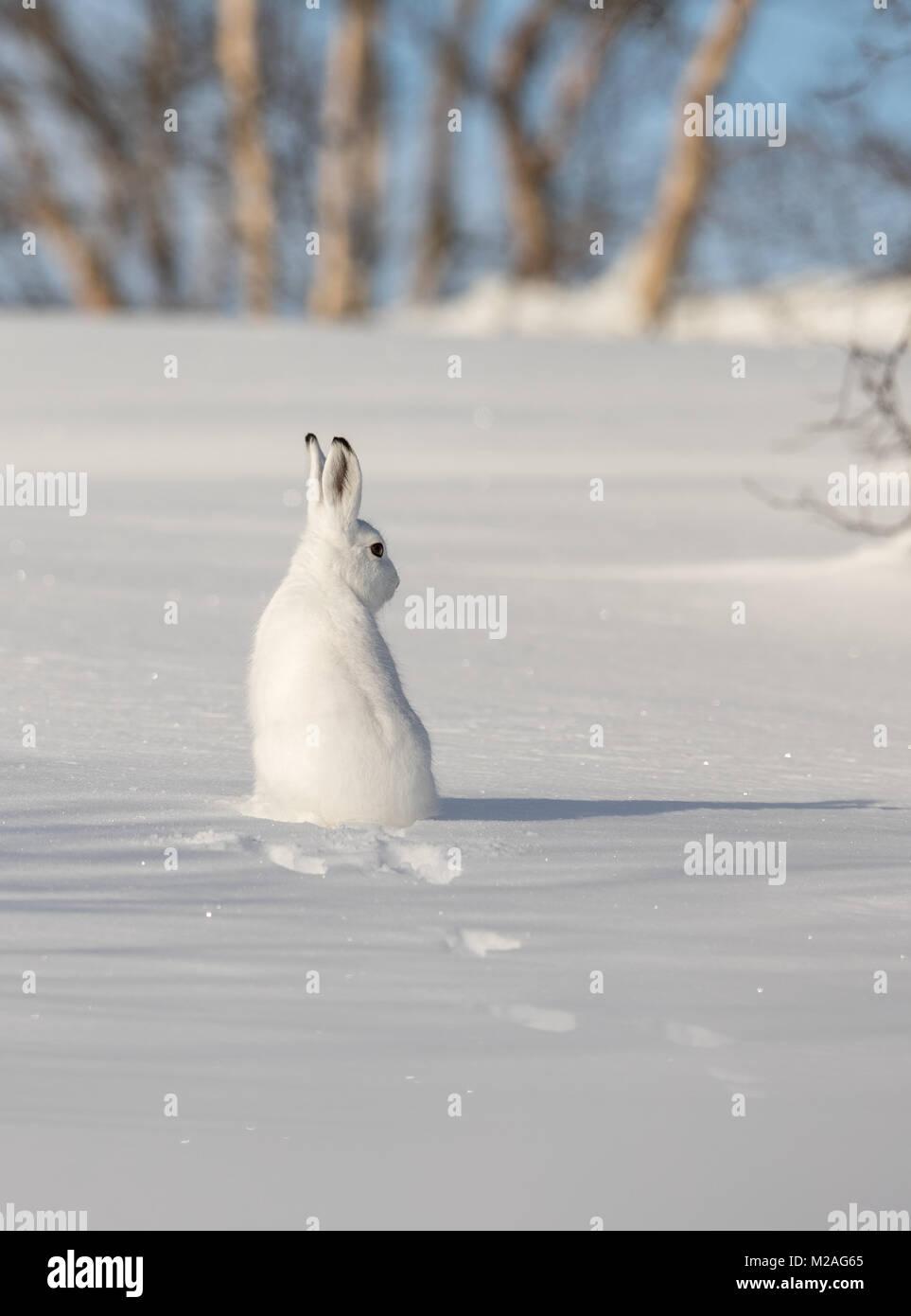 La montaña de liebre, Lepus timidus, en invierno pelaje, sentada en la nieve, mirando a la derecha, en el nevado paisaje invernal con abedules y cielo azul, en Setesdal, Noruega, imagen vertical Foto de stock