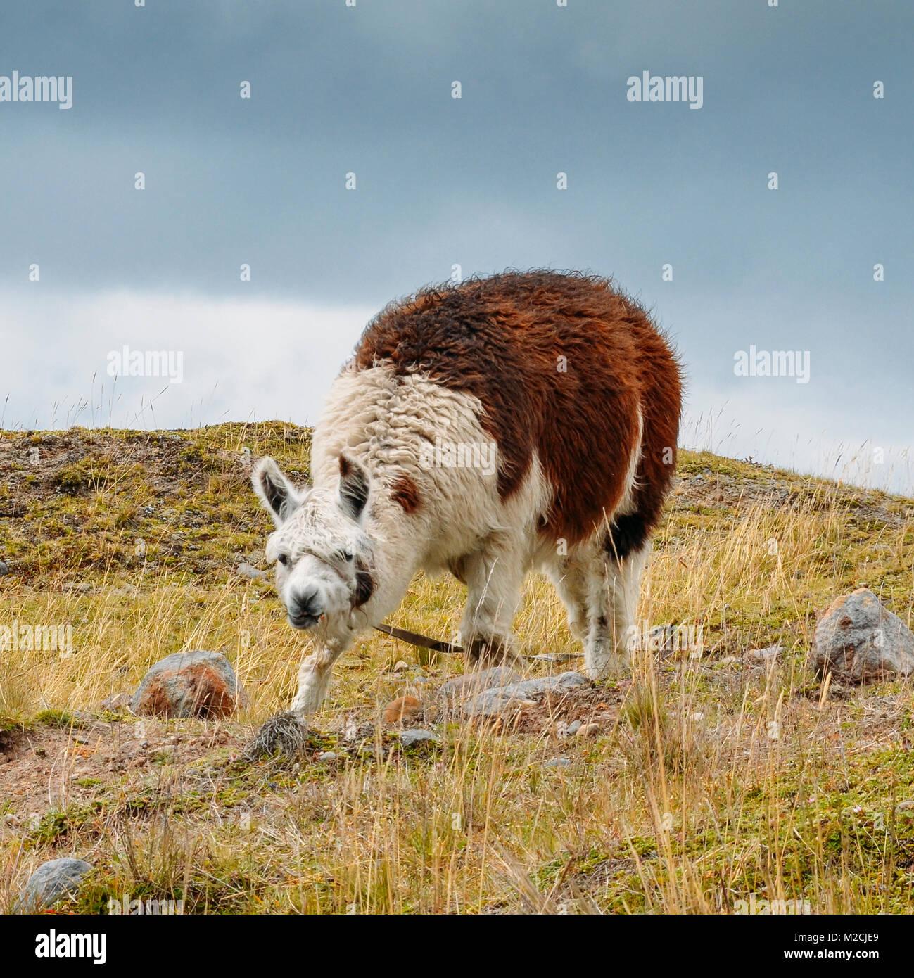Llama es un camélido sudamericano domesticado, ampliamente utilizados como carne y pack animal por culturas Imagen De Stock