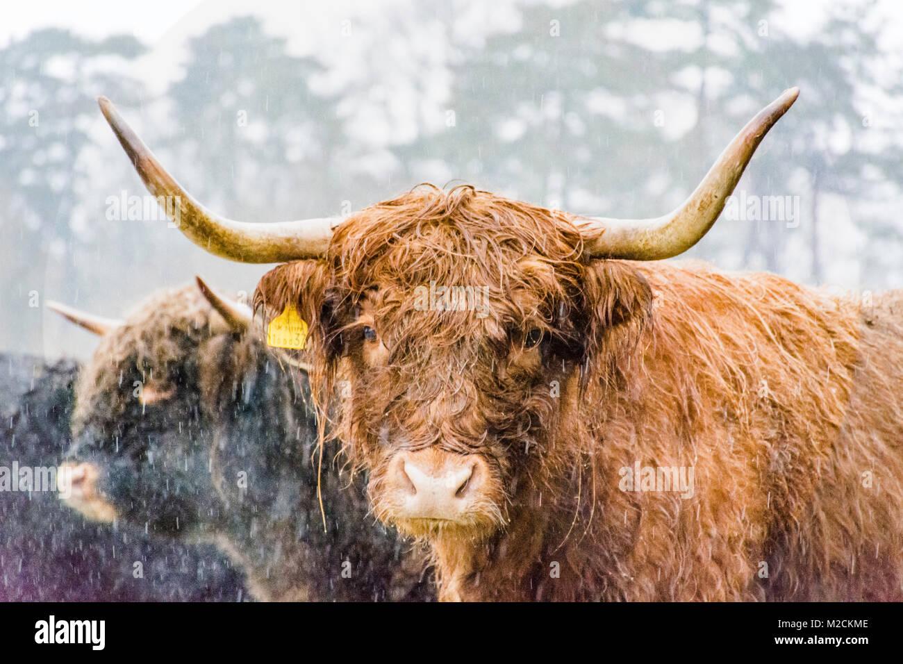 Un altiplano vaca durante el invierno Foto de stock