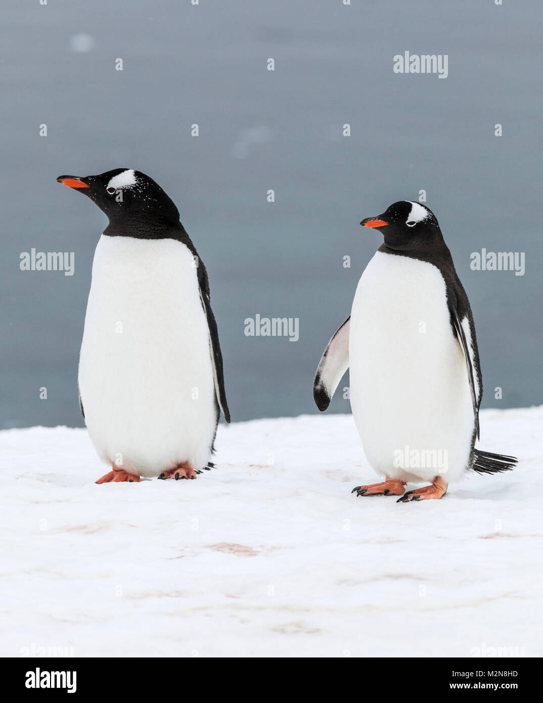 Largas colas; pingüinos Pygoscelis papua; Isla Cuverville; La Antártida Imagen De Stock