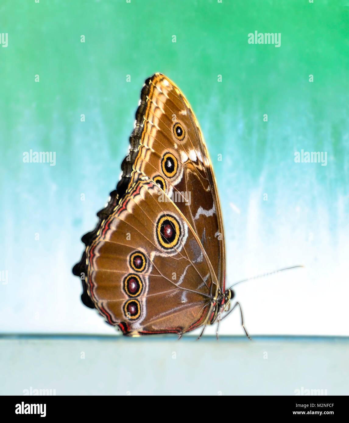 Un solitario se sienta con alas de mariposa cerrada Foto de stock