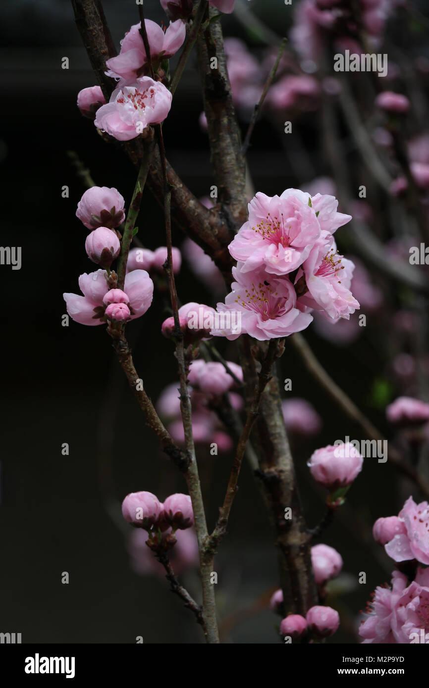 Arbol De Cerezo Japones close-up de varias ramas de un árbol de cerezo japonés con