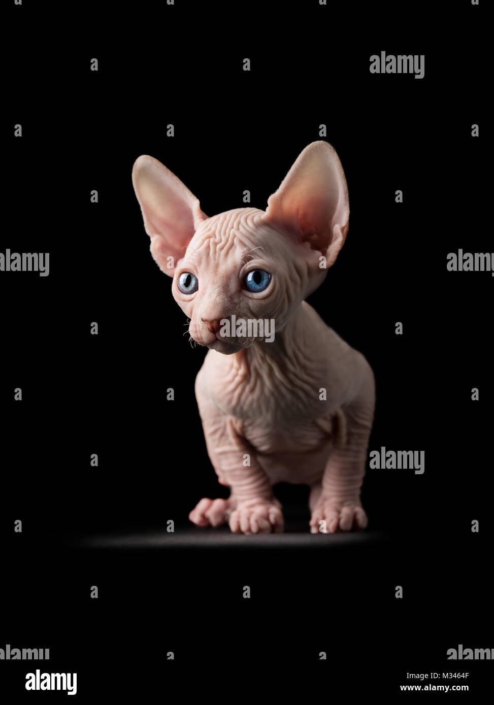 Retrato de un sphynx cat. Foto de stock