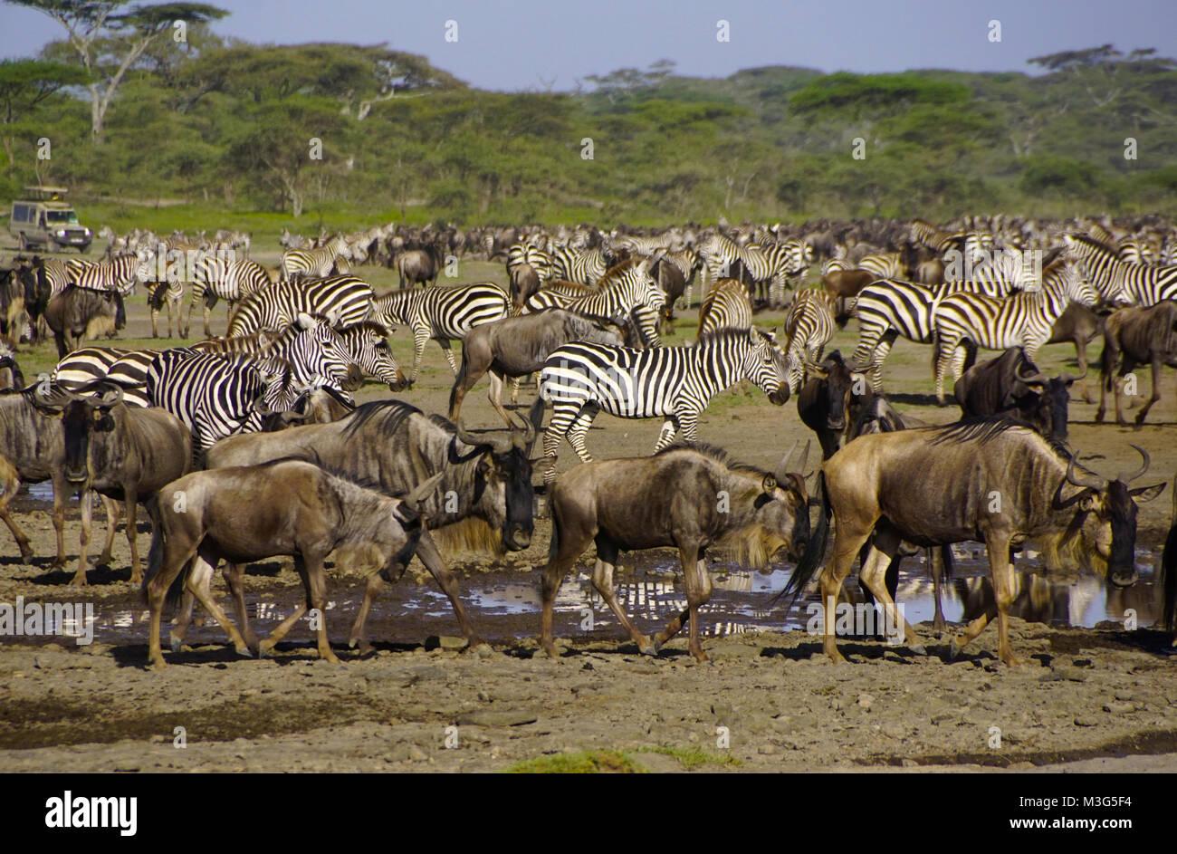 Los ñus y cebras en el Serengeti Plains, Tanzania Foto de stock