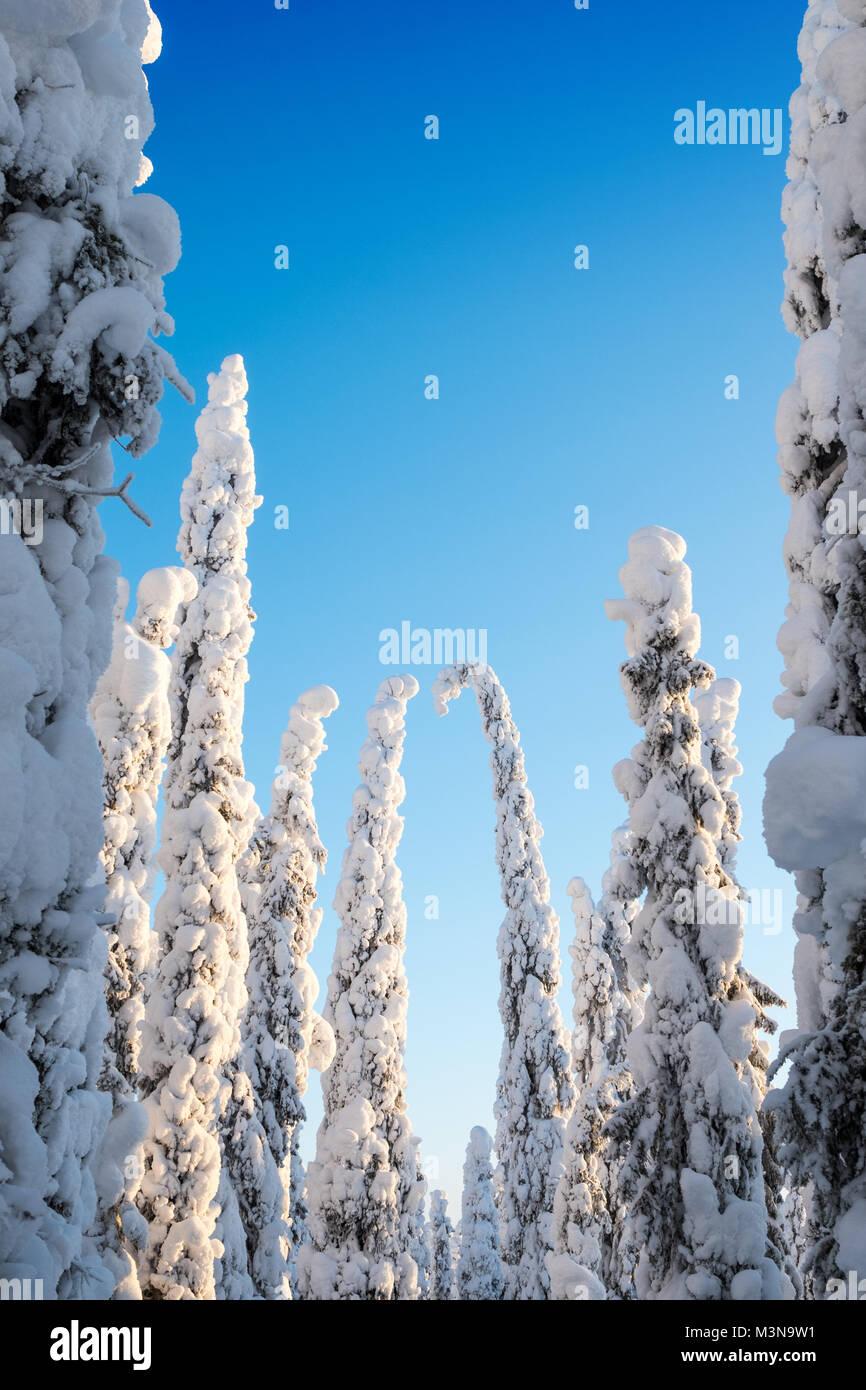Los árboles cargados de nieve y el cielo azul en un bosque finlandés Imagen De Stock