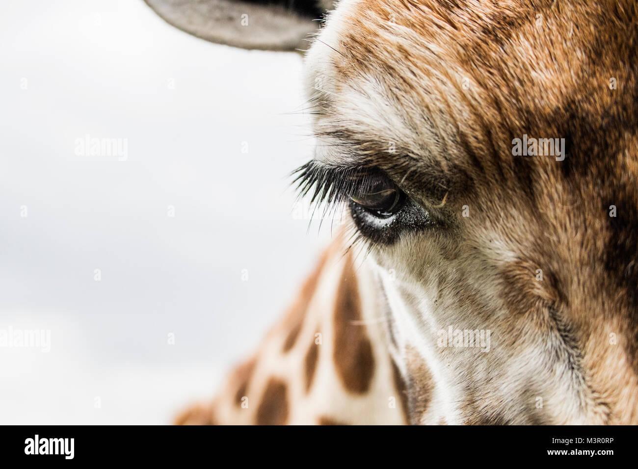 Mirando de cerca youg jirafa Imagen De Stock