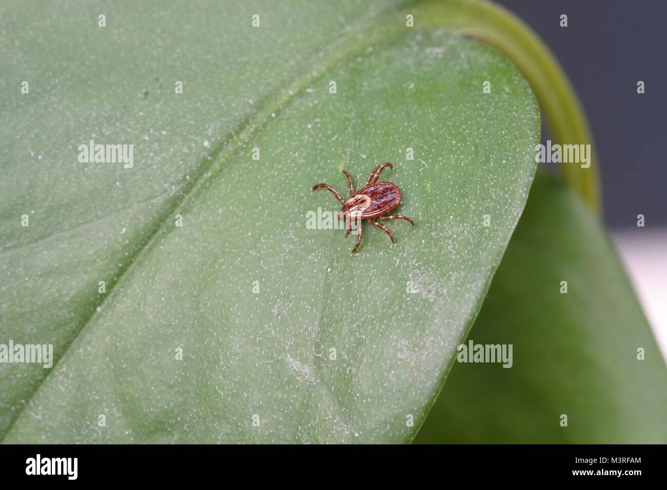 Dermacentor variabilis, también conocida como la garrapata del perro americano en una planta - Esta especie Imagen De Stock