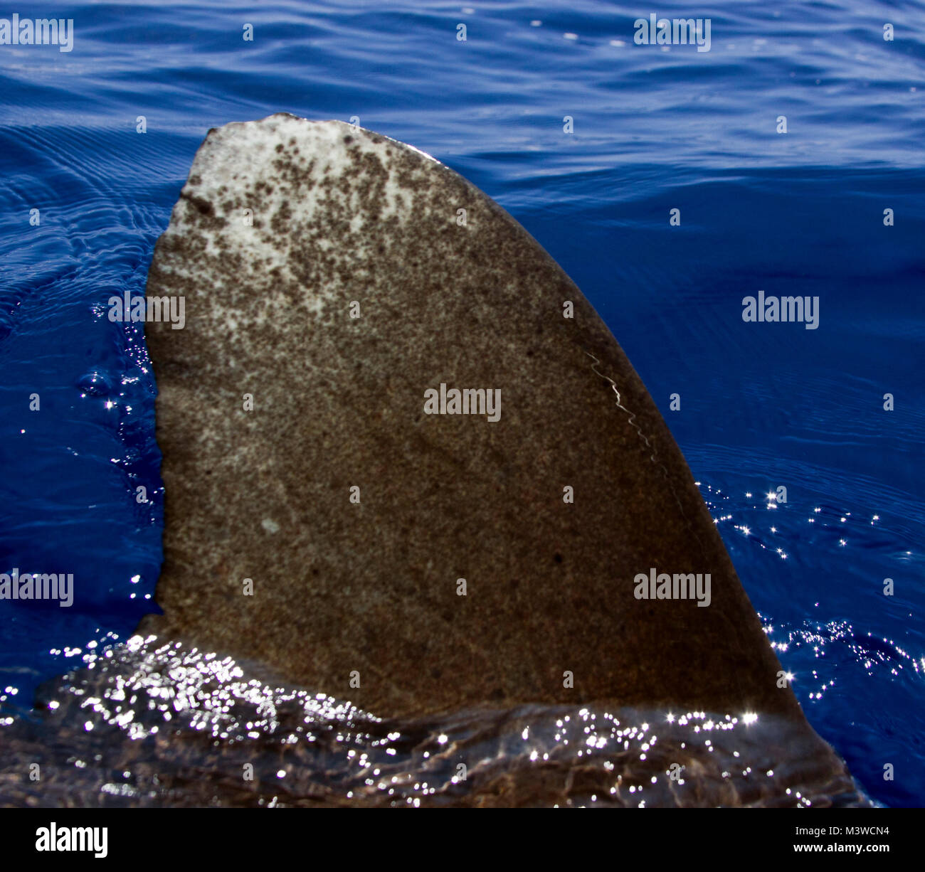 Un distintivo del tiburón oceánico de punta de aleta rompe la superficie junto a la embarcación. Foto de stock