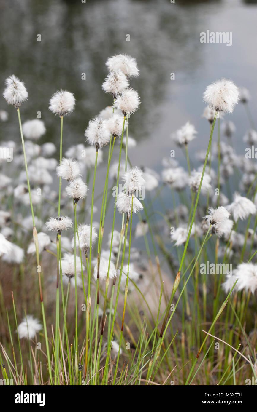 Scheidenwollgras Moor-Wollgras Scheiden-Wollgras,,,,, Schneiden-Wollgras Scheidiges Wollgras Eriophorum vaginatum, hare's Tail, cespitosas cottongrass co Foto de stock