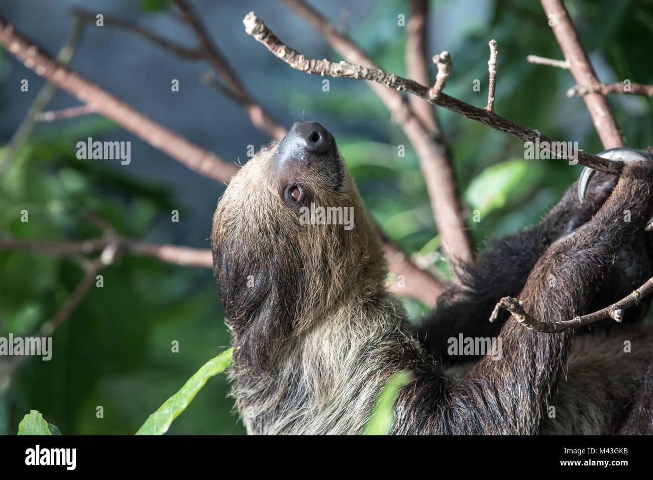 Un relajado sleepy Linnaeus dos dedos cada sloth (Choloepus didactylus) colgando en la copa de árbol. Dubai, Emiratos Árabes Unidos. Foto de stock