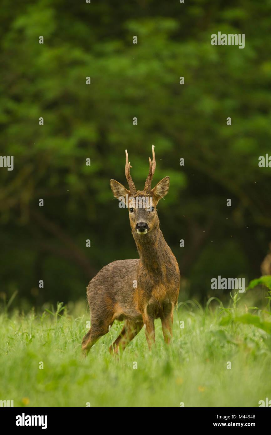Retrato de corzo (Capreolus capreolus) en entorno rural Foto de stock