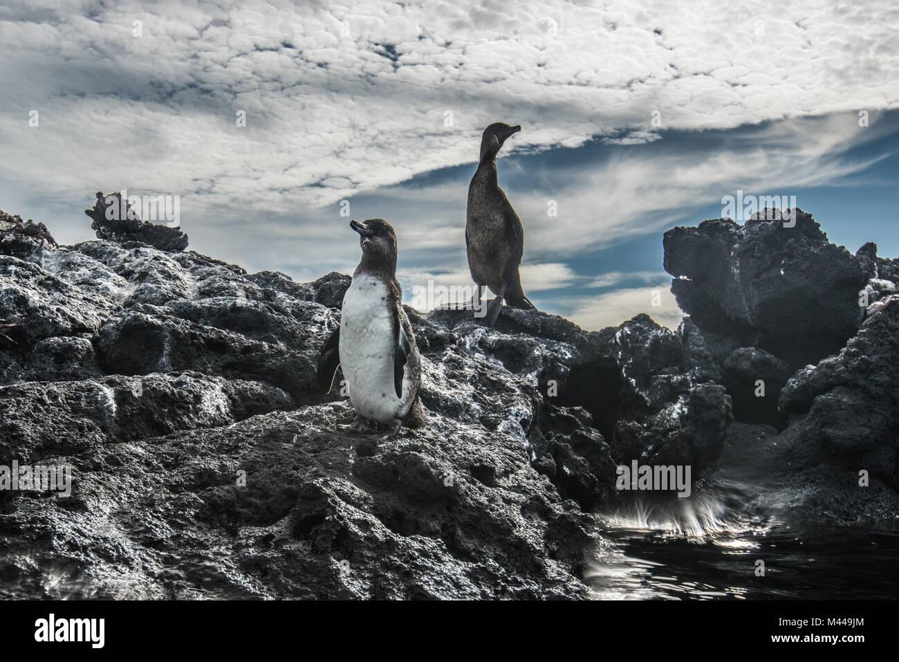 Pingüino de galápagos y cormoranes no voladores descansando en las rocas, Seymour, Galápagos, Ecuador Imagen De Stock