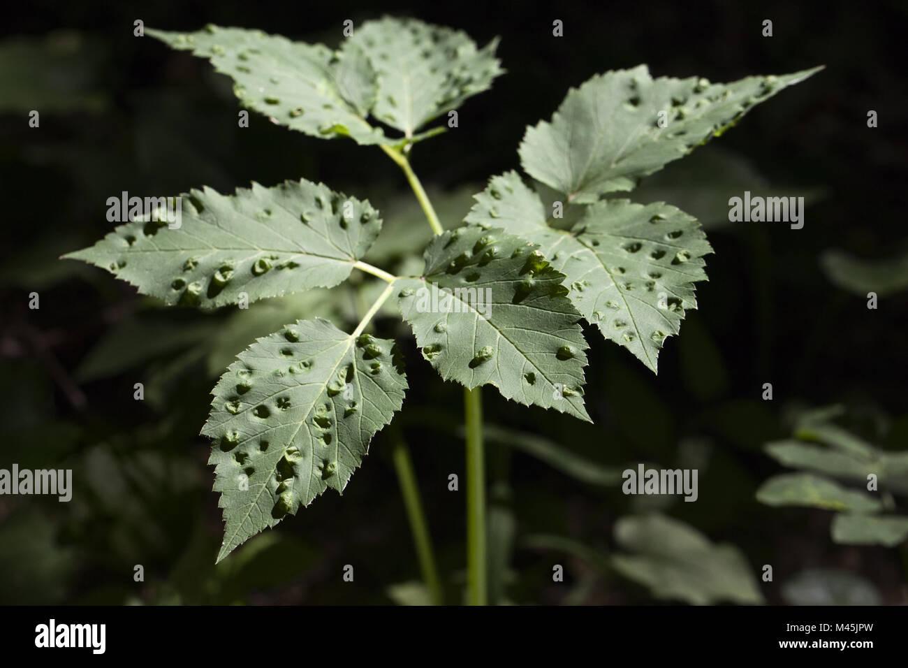 Planta afectada por enfermedad Imagen De Stock