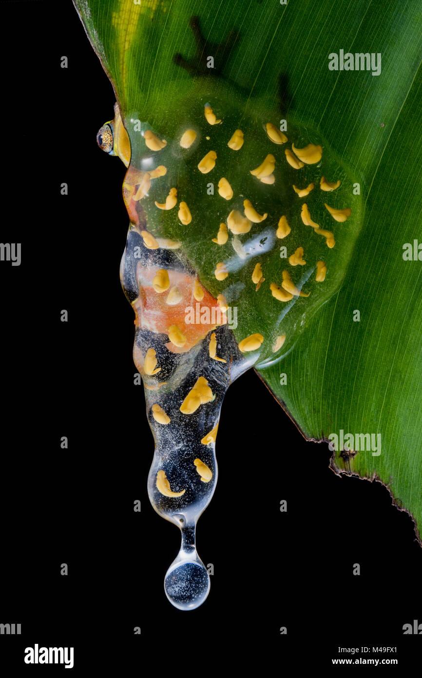 Sarayacu clownfrog (Dendropsophus sarayacuensis) con su nidada de huevos desarrollando y empezaba a descender a Imagen De Stock