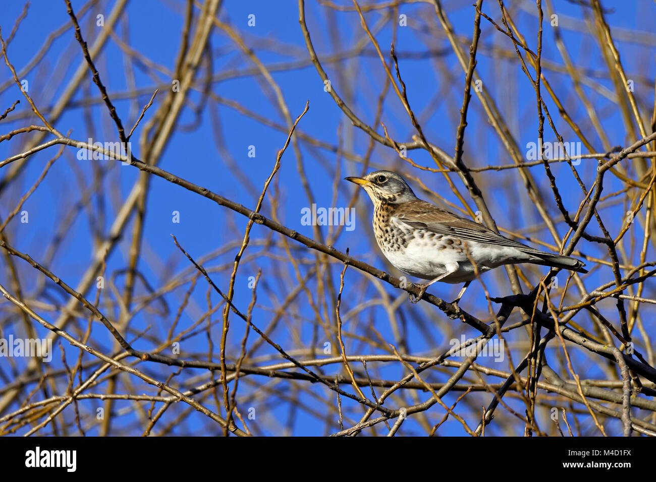 En un árbol Fieldfare Foto de stock
