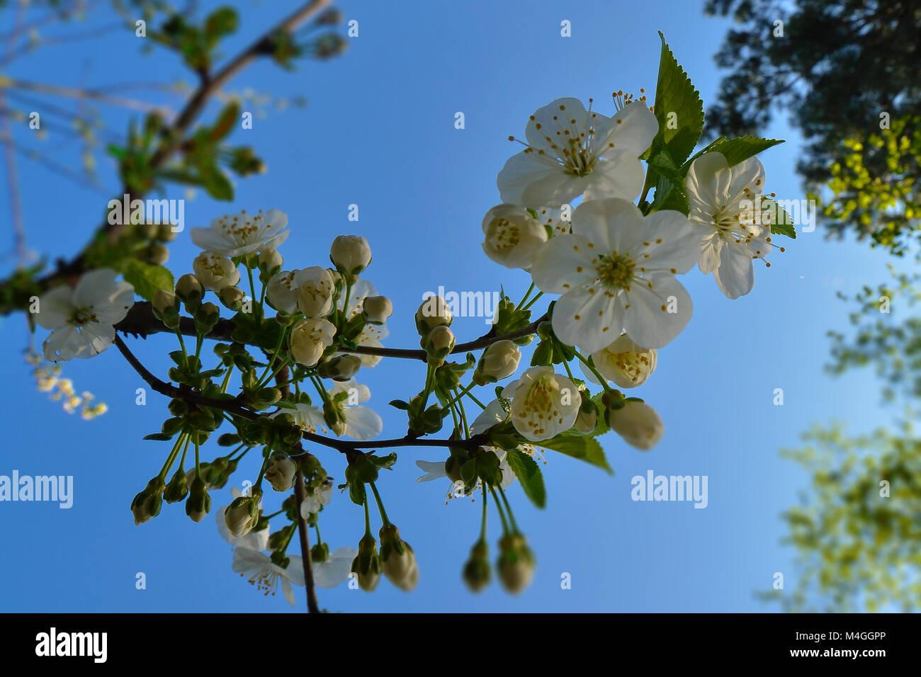 Flor de Cerezo delante de un cielo azul sin nubes Imagen De Stock