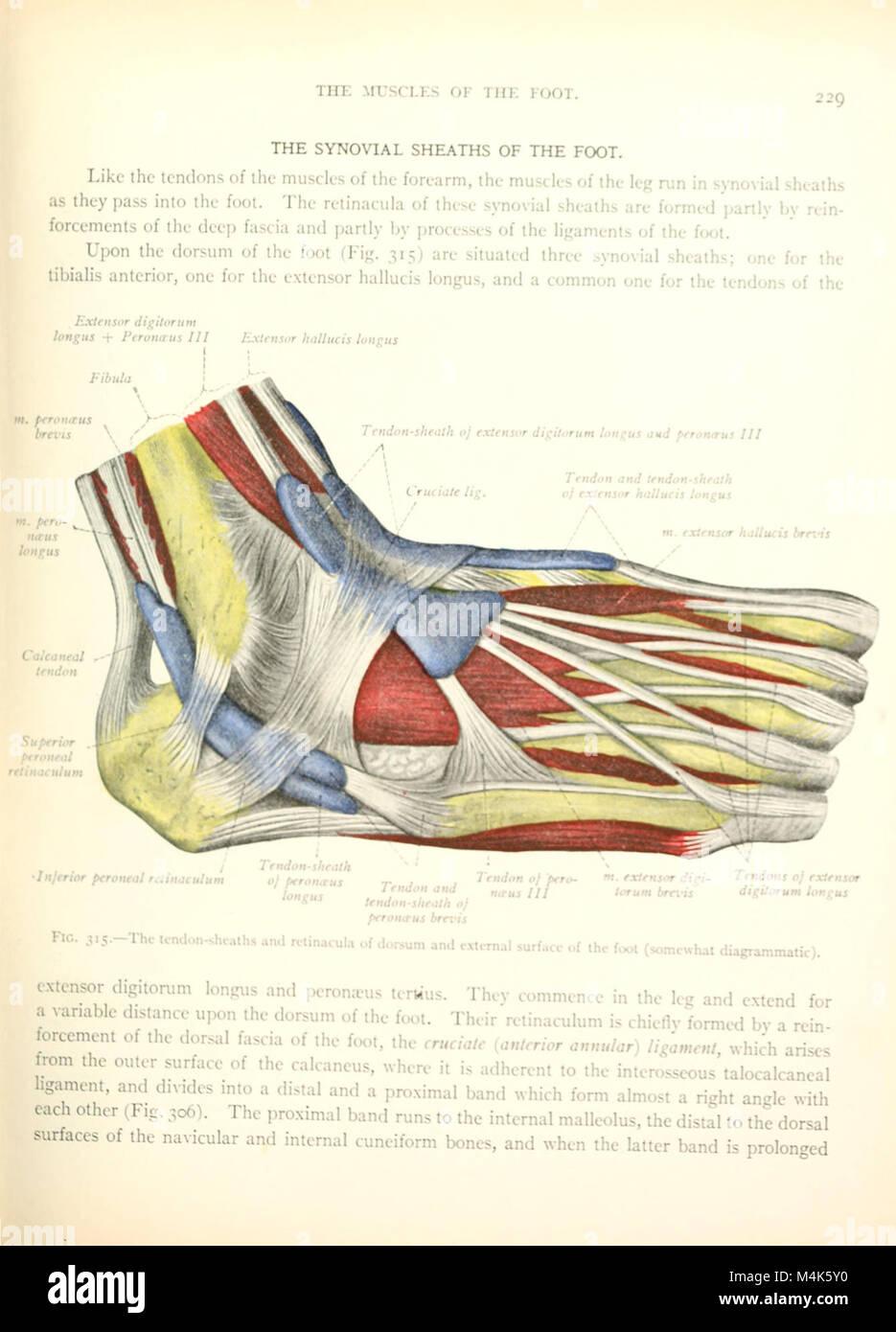 Atlas y libro de texto de anatomía humana (1914-) (20337038512 Foto ...