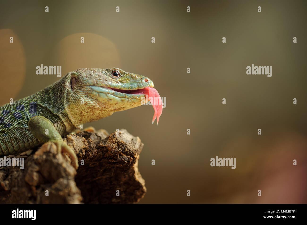Ocellated lizard con lengua Imagen De Stock