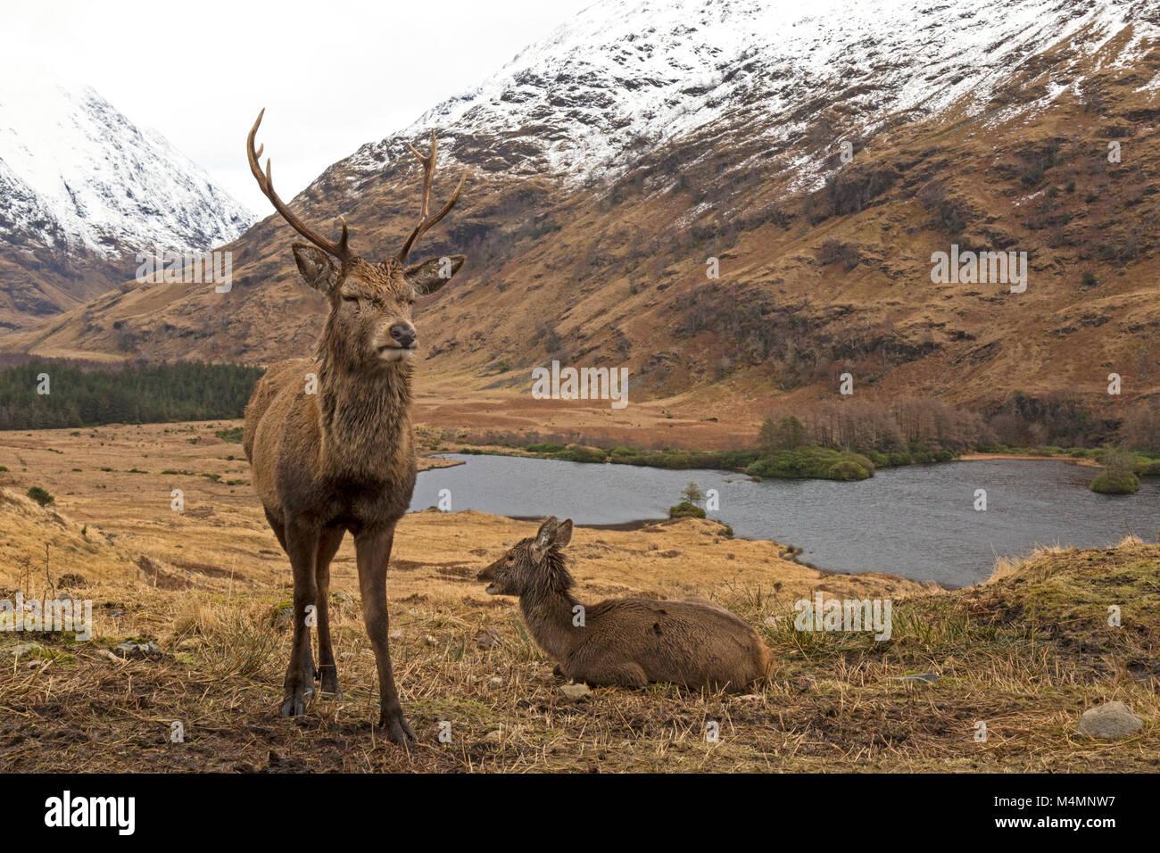 Ciervos salvajes, Cervus elaphus, Stag y hind, masculino y femenino, en el Glen Etive, Escocia, durante el invierno, Imagen De Stock