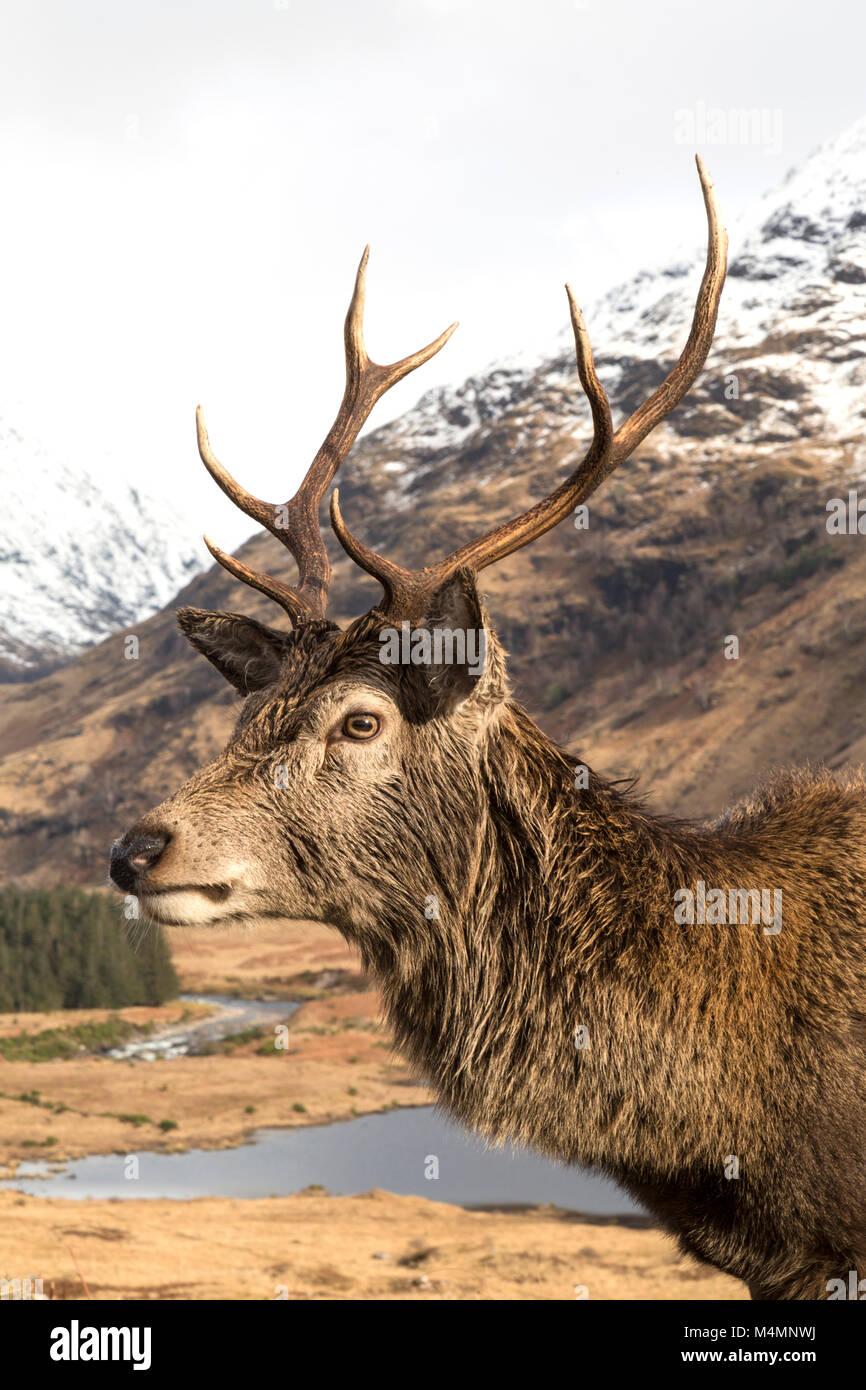 Wild ciervo rojo (Cervus elaphus) Ciervo en Glen Etive, Escocia, durante el invierno, con montañas cubiertas de nieve en el fondo. Foto de stock