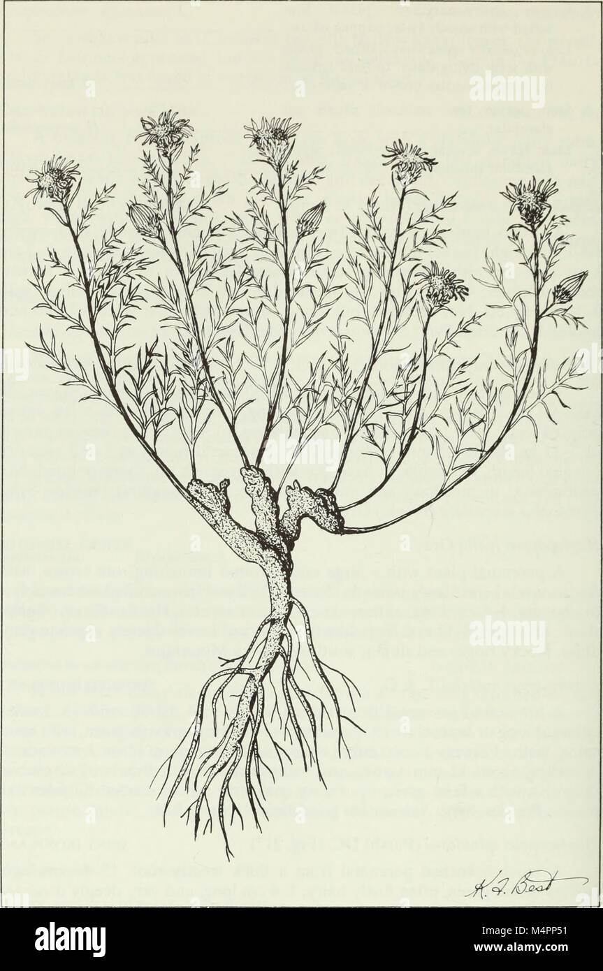 Budd de la flora de las provincias de las praderas canadienses (1987) (20232380588) Foto de stock