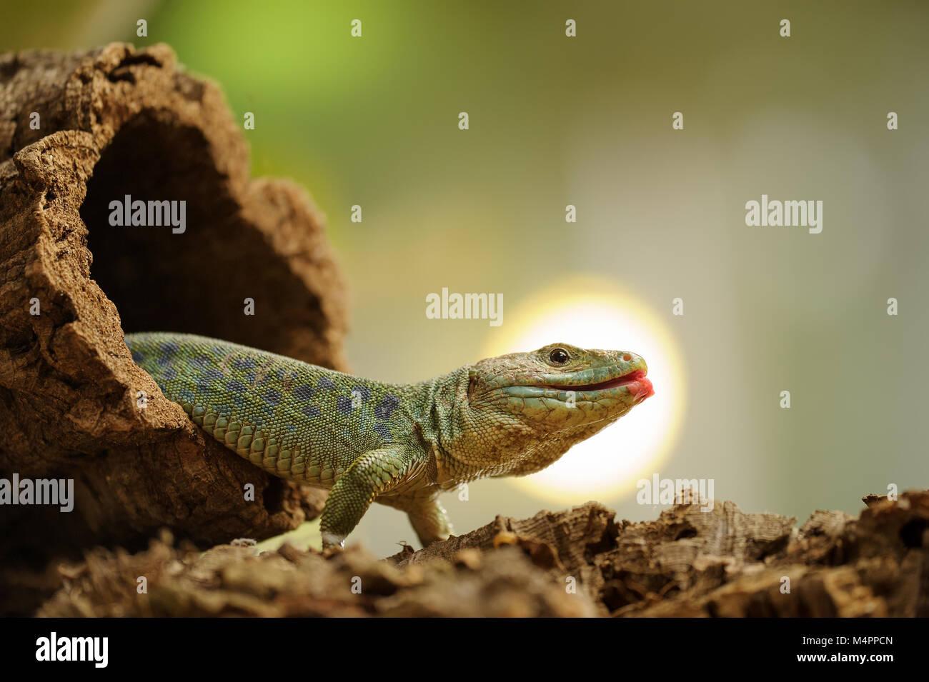 Ocellated lizard trepar fuera del agujero de árbol Imagen De Stock