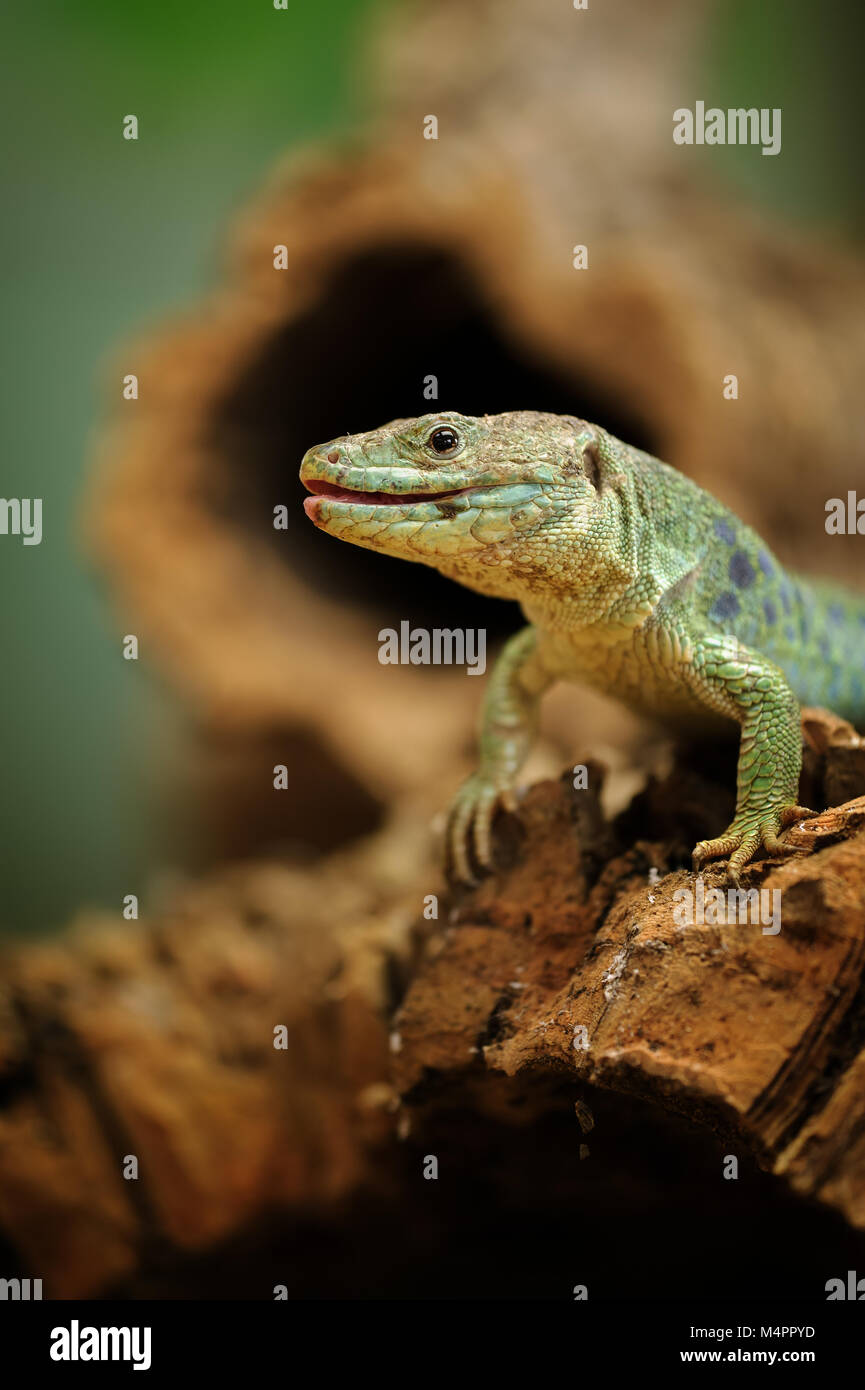 Ocellated lizard pararse en la raíz del árbol. Cerca de animales de sangre fría. Imagen De Stock