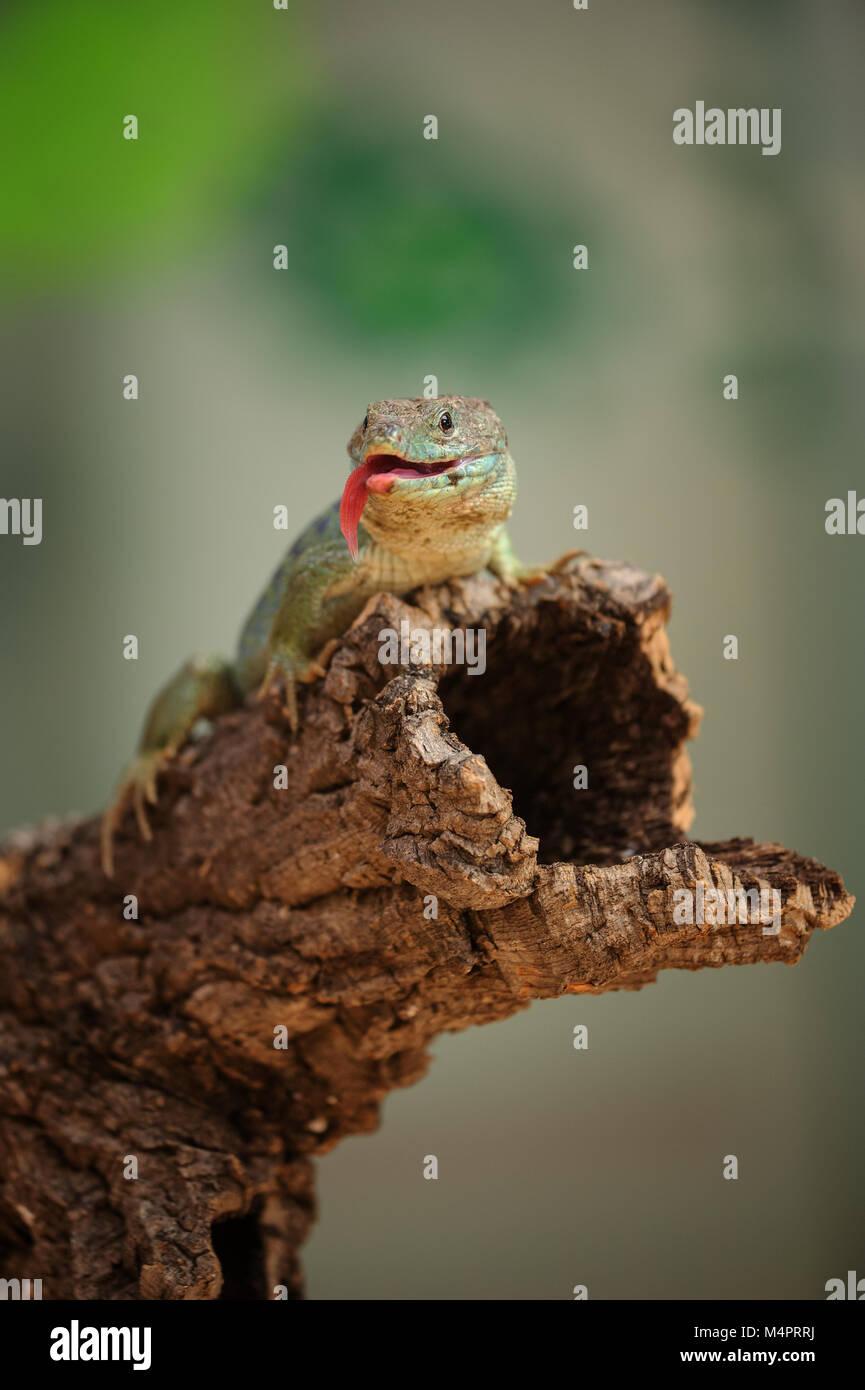 Ocellated lizard pararse en la rama de árbol con lengua Imagen De Stock