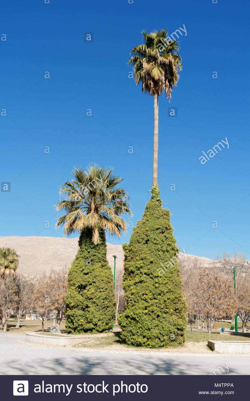 Grupo de palmeras en el parque en el centro de Shiraz, en el centro de Irán. Un cielo azul sin nubes y montañas Imagen De Stock