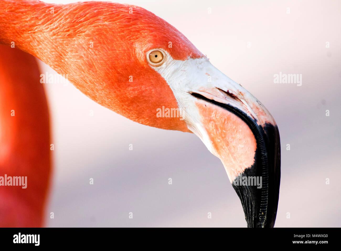 Madrid, España. 18 de febrero, 2018. American flamenco (Phoenicopterus ruber) en el Zoo de Madrid el 18 de Imagen De Stock