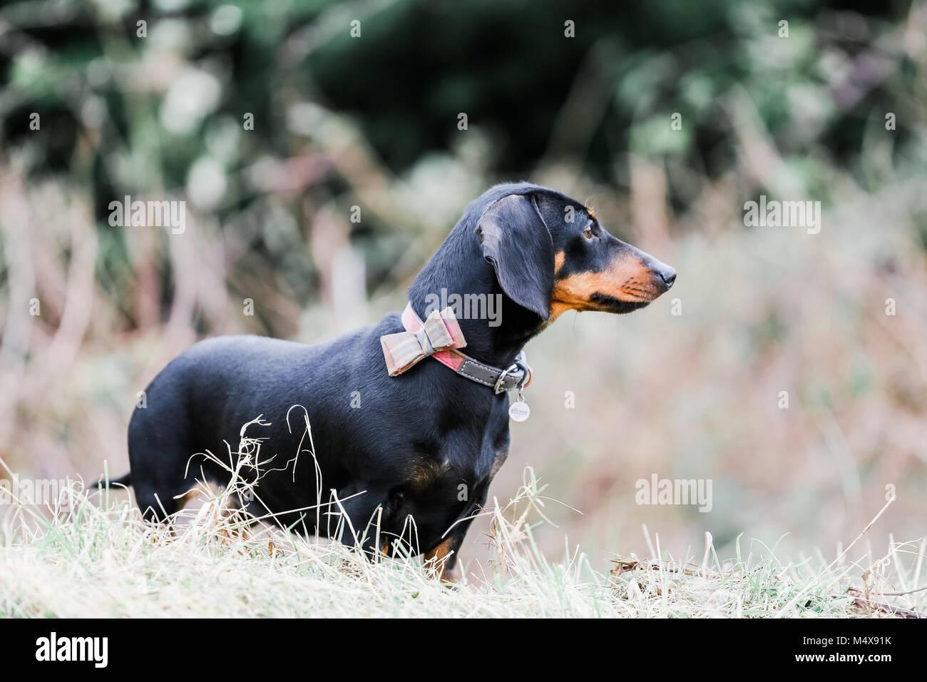 Teckel miniatura en un perro de paseo por el campo, Oxfordshire, REINO UNIDO Foto de stock