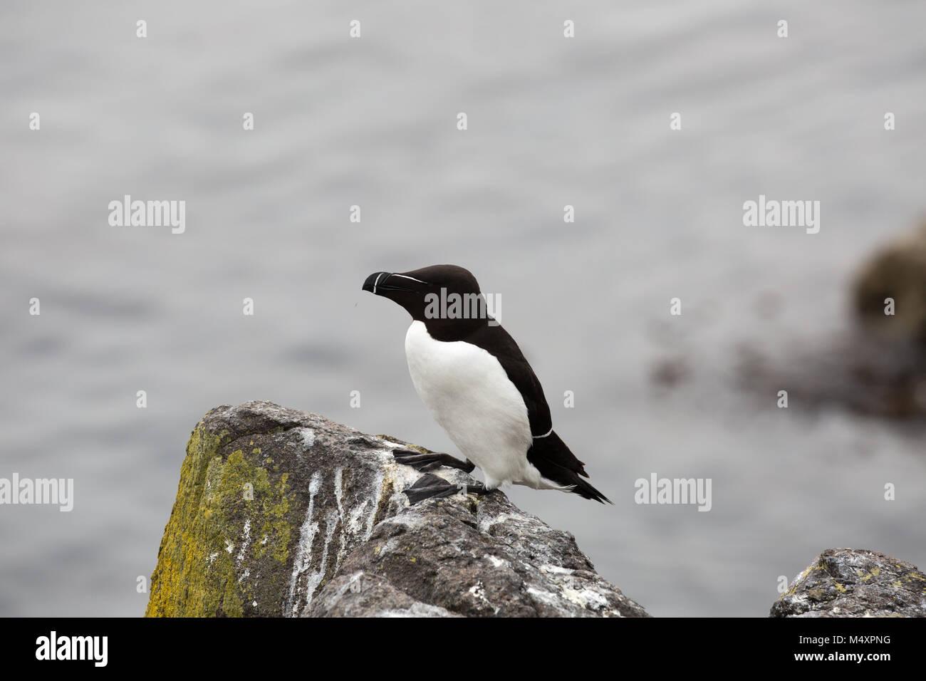 Las aves en la isla de mayo frente a la costa de Fife en el Firth of Forth, Escocia, a 45 minutos en barco de Anstruther. Imagen De Stock