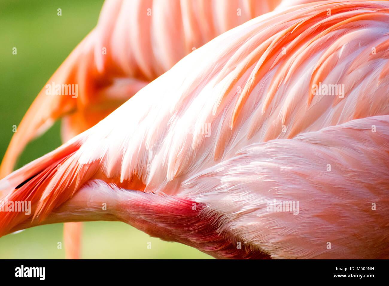 Madrid, España. 19 de febrero, 2018. American flamenco (Phoenicopterus ruber) en el Zoo de Madrid el 19 de Imagen De Stock