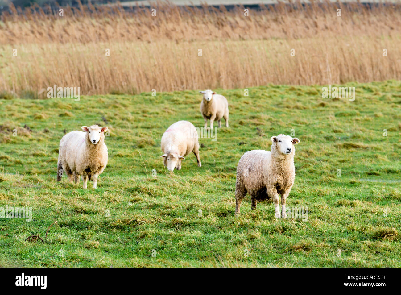 Ovejas en Tenterden Foto de stock