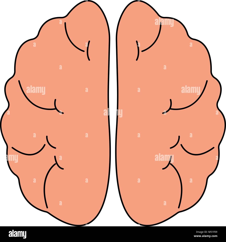Icono de vista frontal del cerebro humano. Órganos Hnternal símbolo ...